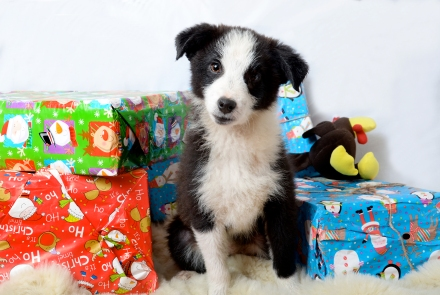 A doggie should never be a Christmas present!