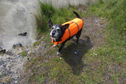 Come on, throw the toy quickly! (The human puts the life jacket on me when I'm rememberings that I can swim, 'cause I kind of forgets every year!)